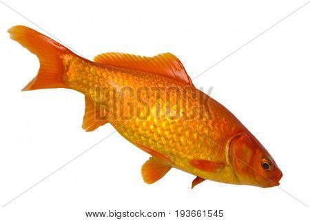Small gold fish isolated on the white background