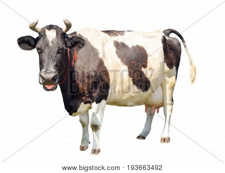 Black and white cow with funny pink tongue out isolated on white background. Spotted funny cow full length isolated on white. Farm animals