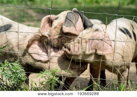 Three little pigs playing behind a fence.