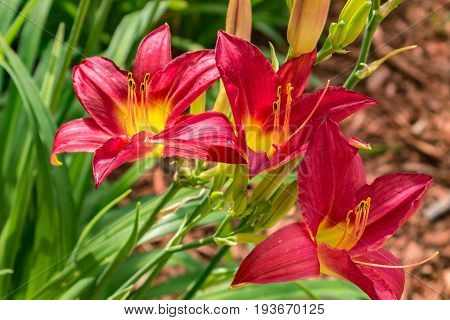 Perennial orange and red tiger lilie (Lilium lancifolium)(Hemerocallis Fulva)