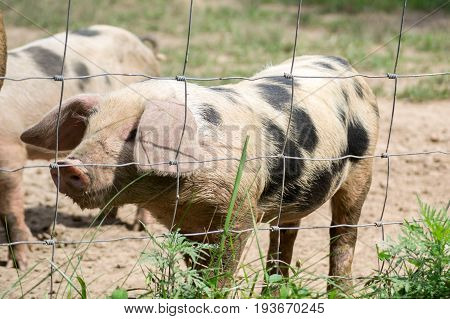 A cute little pig behind a fence.