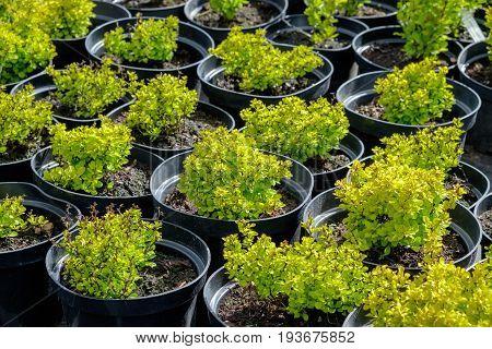 Barberry plants in pots on tree farm.