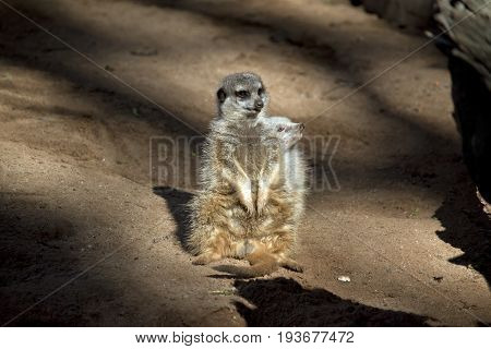 the meerkats are standing guard protecting his tribe