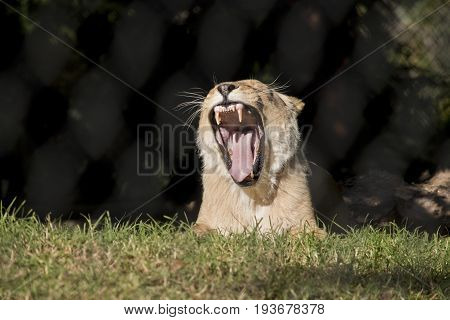 this is a close up of a lioness growling