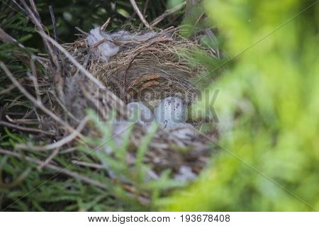 Eggs of Common Linnet (carduelis cannabina) baby birds laying in the nest in thuja