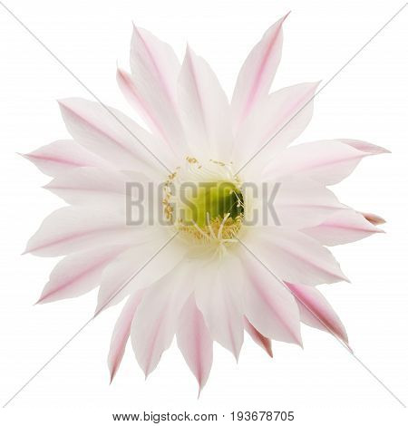 Pink blossom from cactus isolated on white background, Epiphyllum hybrid