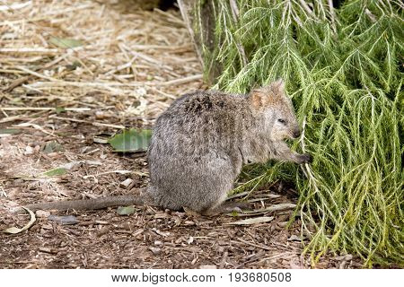 the quokka is standing eating a bush