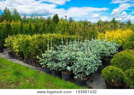 Fir trees juniper cypress and thuja in pots for sale.