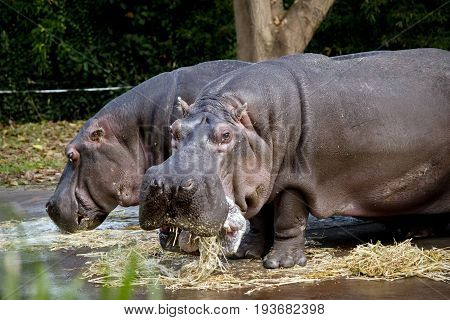 this is a close up of two hippos eating