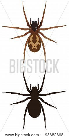 Vector image of a spider and its silhouette on a white background. View from above. Insect.