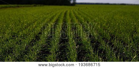 Neat rows of green sprouts of corn wheat tea or other agricultural plants and crops cultivated on farmer's land in rural area or countryside. Shallow depth of field. Organic products and food