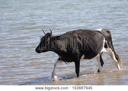 cow walking on the water in the lake .