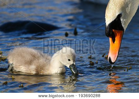 A tiny mute swan cygnet feeding beside one of it's parents