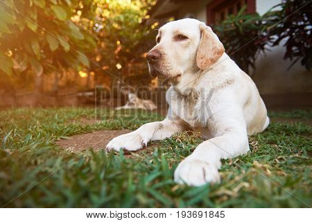 Labrador dog lay on garden background in sunny light day. One healthy labrador dog