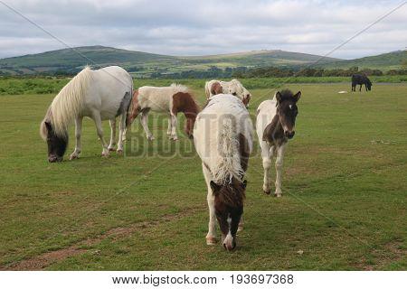 A herd of wild Dartmoor ponies grazing in the Dartmoor National Park, Devon, UK