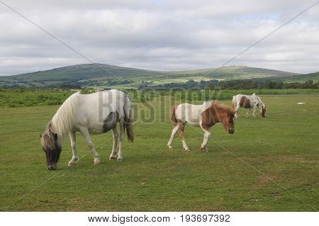 A herd of wild Dartmoor ponies graving in the Dartmoor national Park, Devon, UK