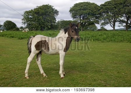 A young Dartmoor pony foal in the Dartmoor National Park, Devon, UK.