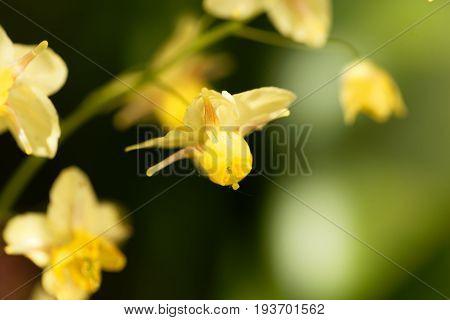 Flower of the garden barrenwort (Epimedium x versicolor)