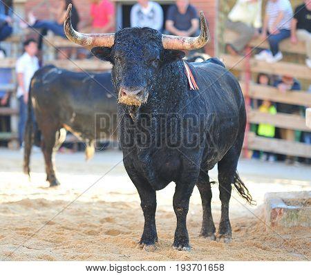 bull in spain with big antlers in bullring