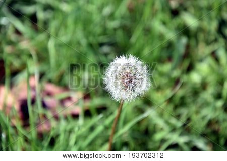 Dandelion fluff. Dandelion tranquil abstract closeup art background. dandelion air white beautiful meadow flower