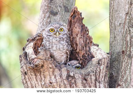 Close up of spotted owlet or athene brama bird.
