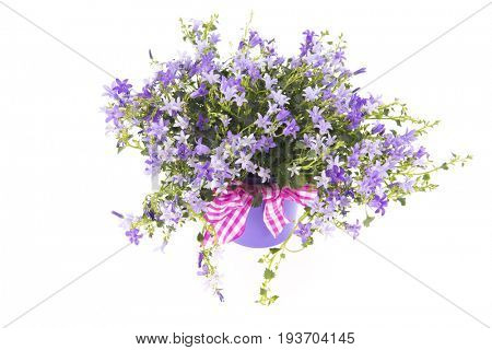 Purple Campanula pink flower pot isolated over white background