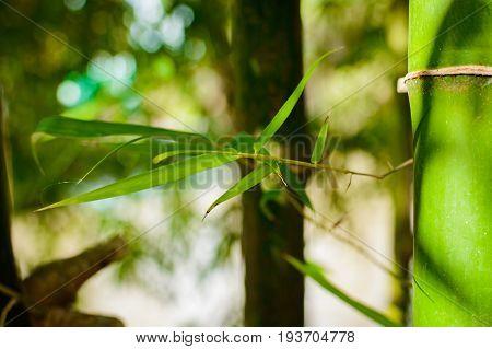 Fresh Bamboo Trees