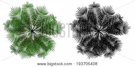 top view of young palm tree isolated on white background with alpha mask