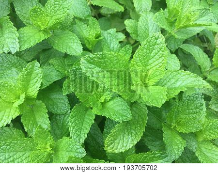 close up on Fresh green spearmint in the garden