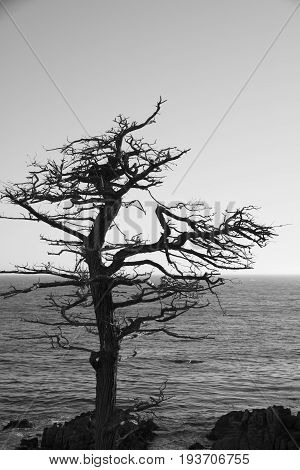 Black and White image - Single Cypress Tree along coastline of 17 Mile Drive Pebble Beach California