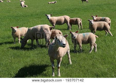 Many plump newly sheared sheep in green grassy meadow watching something in English countryside, ears alert.