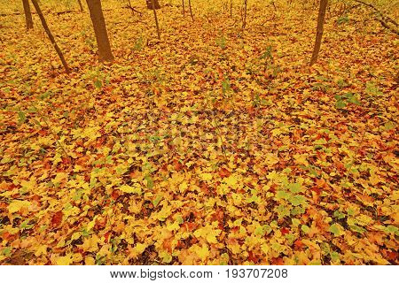 Colorful Leaves on a Forest Floor in the Morton Arboretum in Illinois