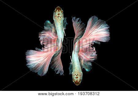 Seamless Beta Fighting Fish Siamese fighting fish  on black background