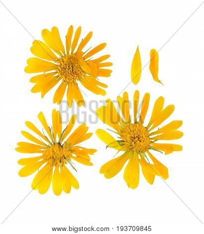 Pressed and dried flower picris hieracioides isolated on white background. For use in scrapbooking floristry (oshibana) or herbarium.