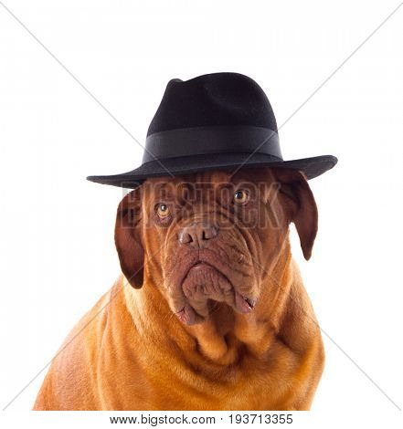 Dogue de Bordeaux with black hat isolated on a white background