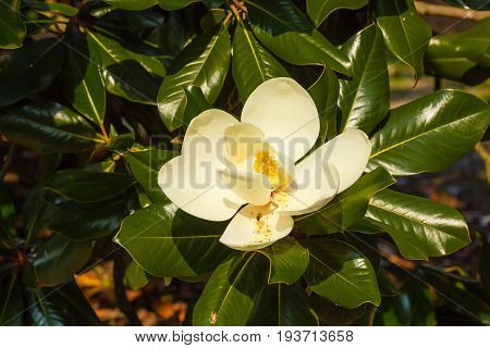 the magnolia grandiflora is an ornamental tree with large and shiny leaves and white fleshy and scented flowers