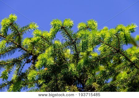 Young Needles On Fir Tree Branches At Spring