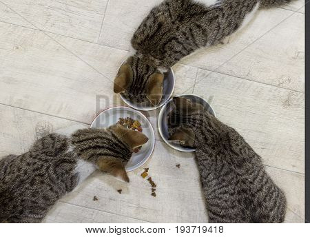 Three Young Cats Are Eating.