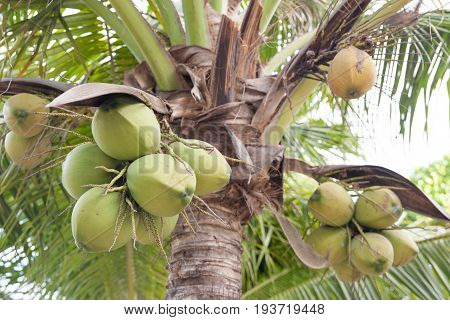 Close up of green fresh coconut cluster on Tree.