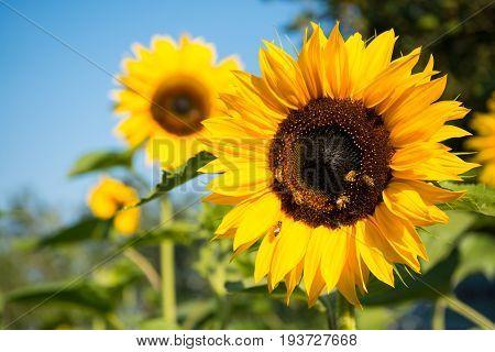 Closeup The Active Orange Mix Yellow Sunflower
