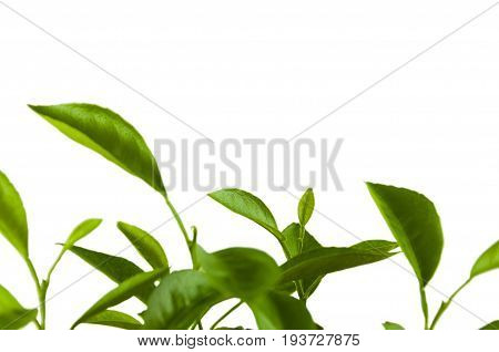young green shoots of citrus on white background