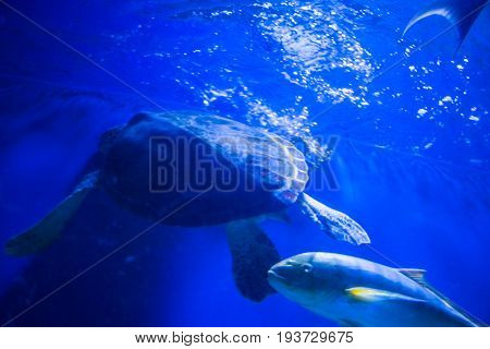 Tropical Sea Tortoise In Blue Water. Beautiful Background Of The Underwater World
