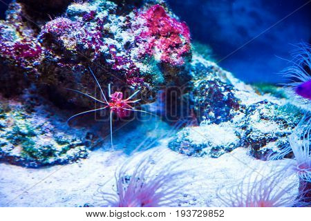 Beautiful Little Red Cancer Sea Coral In Blue Water. Background Of The Underwater World