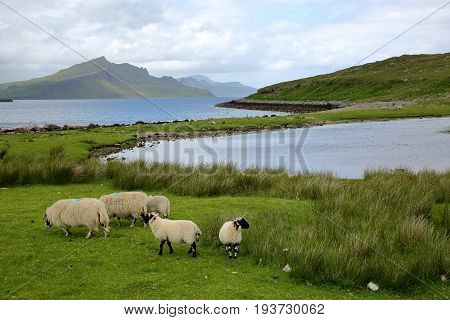 View from the An Aird peninsula towards the mountain Ben Tianavaig with sheep in the foreground, Isle of Skye, Highlands, Scotland, UK
