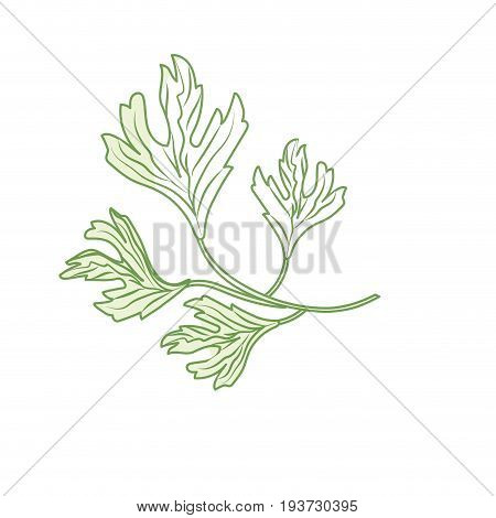 silhouette coriander herb to natural condiment of food vector illustration