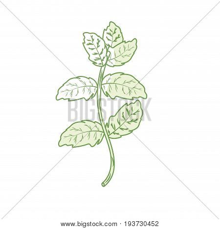 silhouette peppermint plant ingredient to condiment of food vector illustration