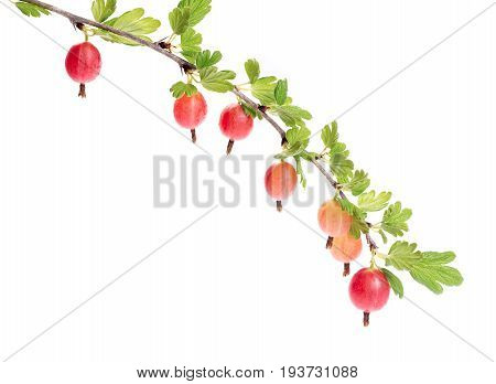 Red gooseberries berries hanging on a bush. Isolated on white background