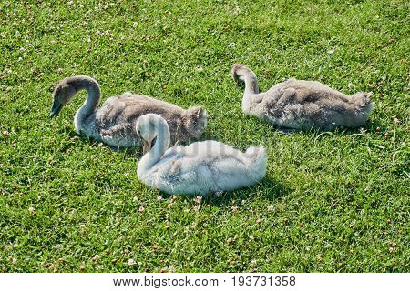 nestled with ducklings on the green lawn
