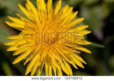Young dandelion flower on a green meadow. Beauty in nature.
