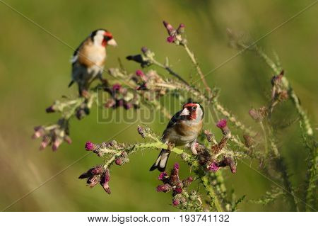 Goldfinch eating wild thistle flowers in Seaton Wetlands Devon